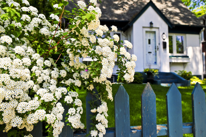 Lilac bushes and fence with house in background